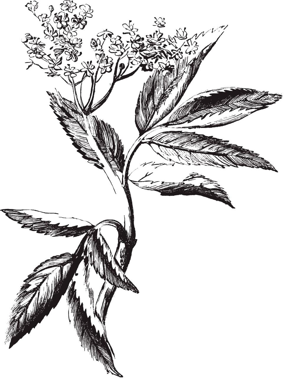 Illustration Bouquet de fleurs séchées par Rosa Cadaqués