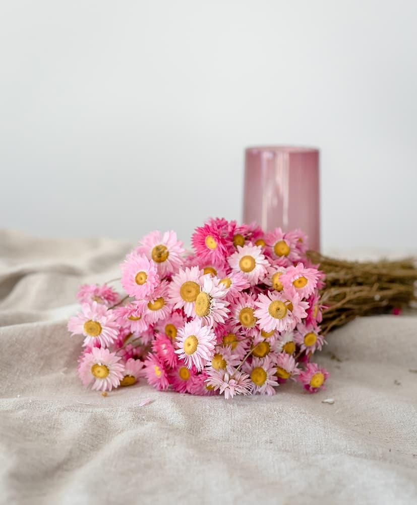 Fleurs séchées d'acroclinium rose